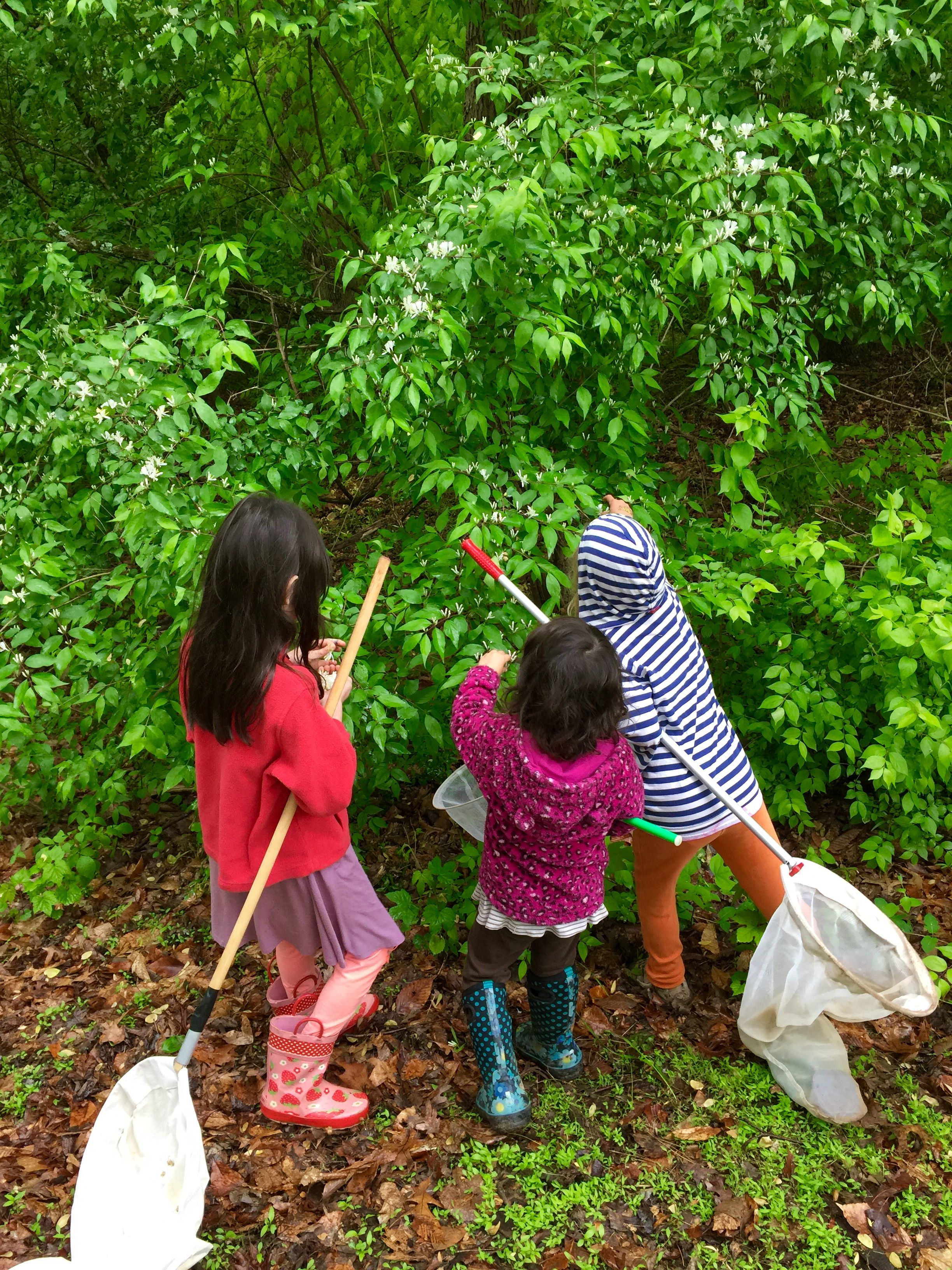 Three children face a tall green bush examining the thick leaves. They are each holding long handled butterfly nets.