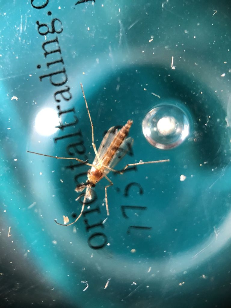 View looking up through a shallow plastic container of a four-legged winged insect. The insect has a thin body and nearly translucent wings.
