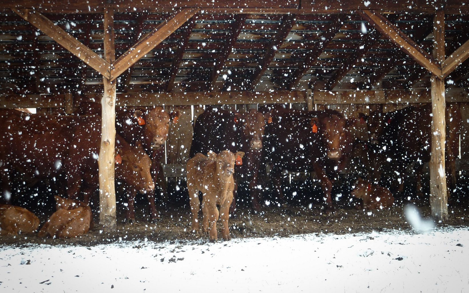 A calf is hypnotized by the falling snow at Trampe Ranch near Crested Butte, Colorado.