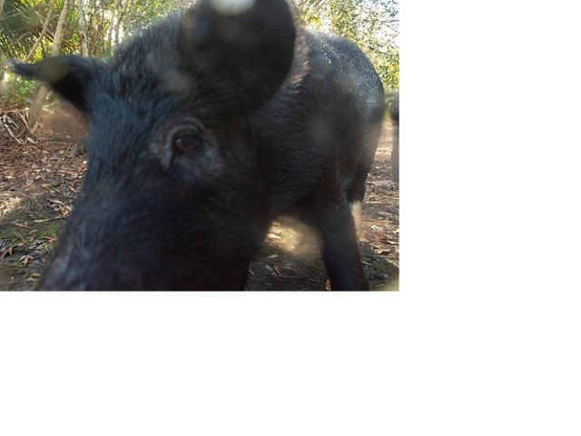 black-haired boar so close to camera it's blurry and partially obscured, trees behind