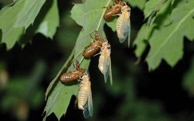 Three newly emerged cicadas in a line on a green leaf. Their soft white bodies dangle from empty brown shells while they wait for their carapace to harden.
