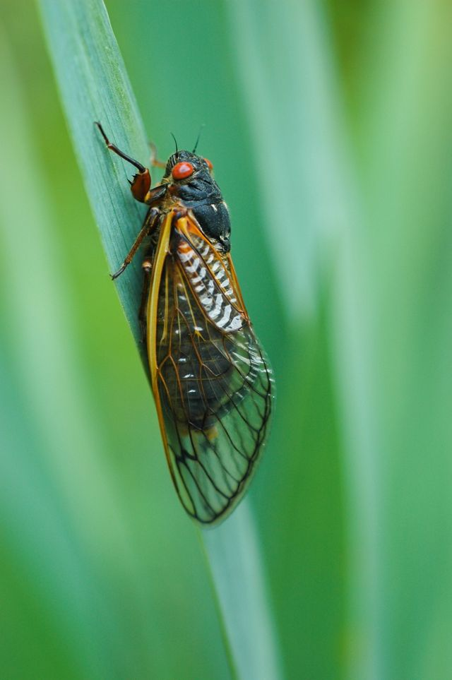 A cicada sits on a blade of green grass. The insect has a black body, large red eyes, and long translucent wings with thick yellow veins.