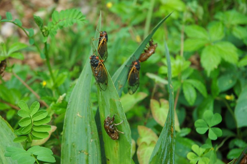 Five adult cicada rest on the tall leaves of a green plant. The insects have black bodies, long translucent wings and large red eyes.