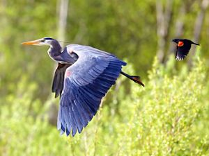 great blue heron and red-winged blackbird flying