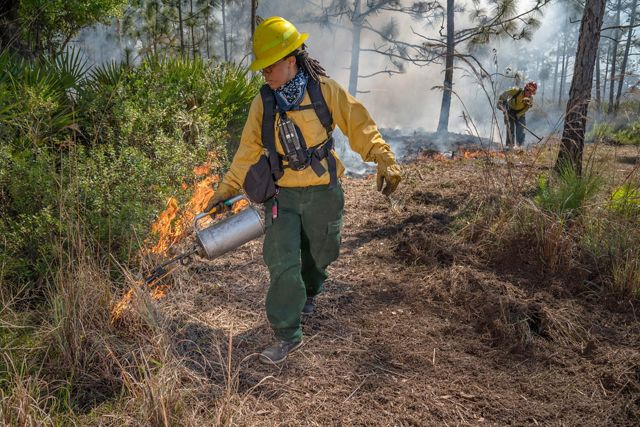 A woman in wildland fire gear uses a drip torch to ignite a controlled burn in Florida longleaf pine forest.