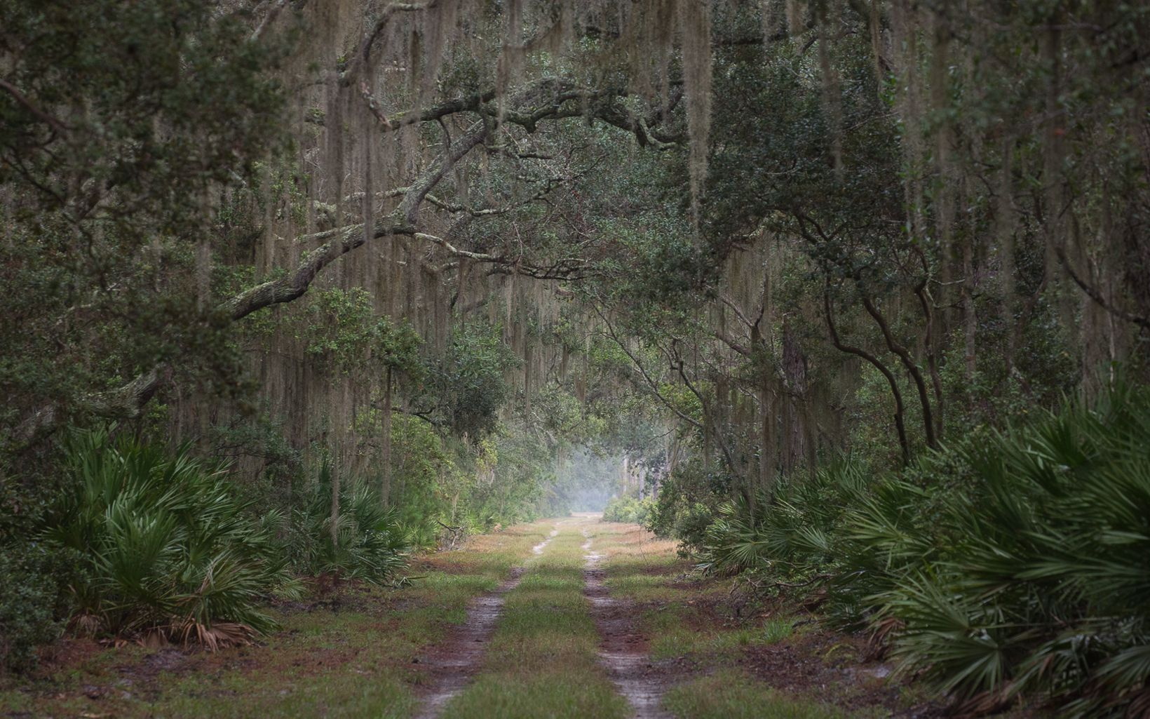 A trail with trees arching over it and Spanish moss hanging from the trees.