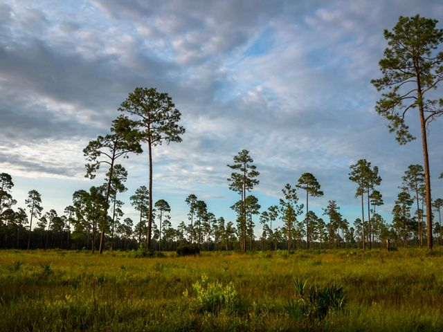 Longleaf pine trees at Cabin Bluff.