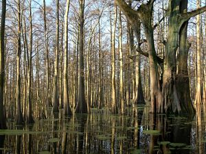 Cypress trees in the Cache River.