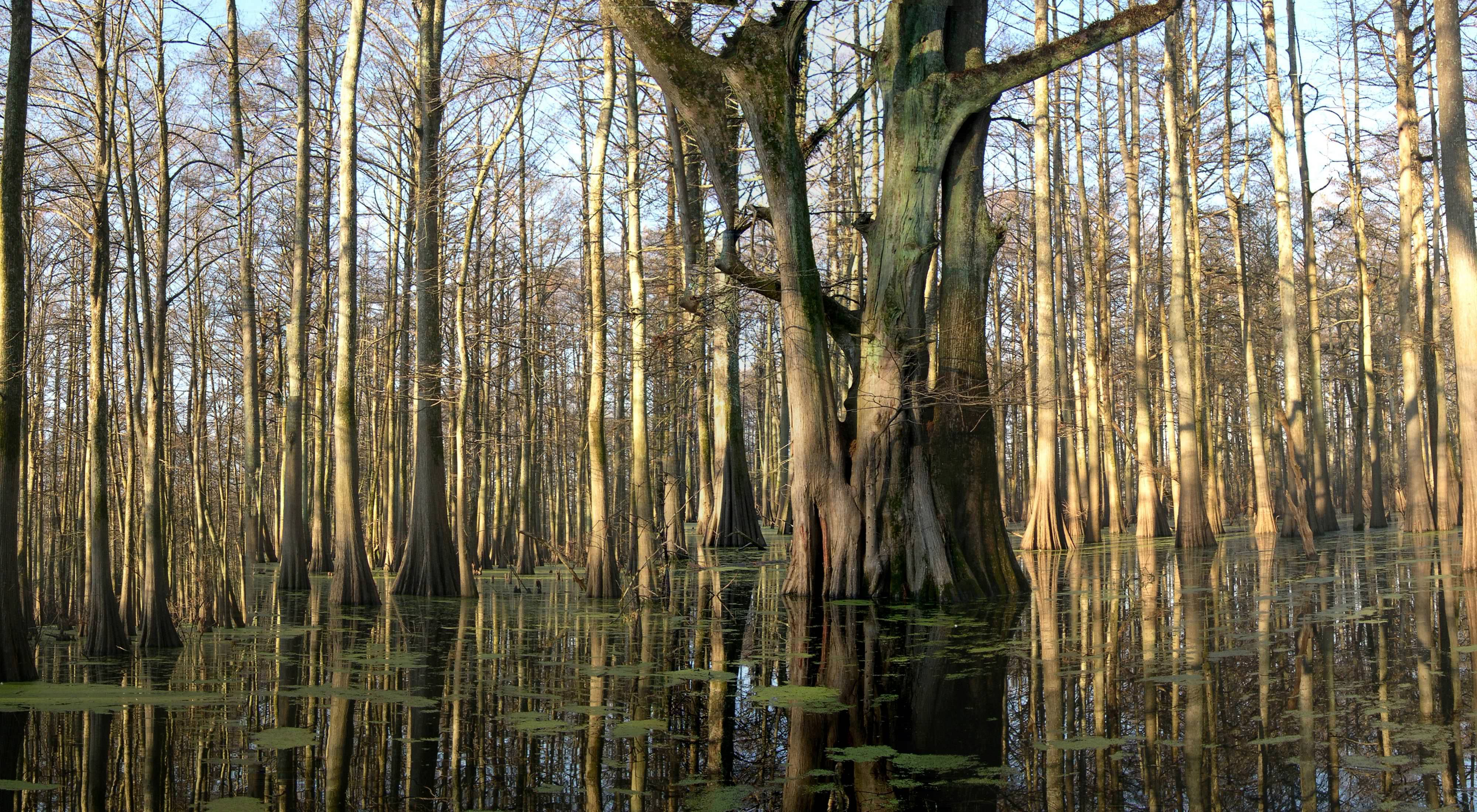 A swampy landscape with tree trunks growing out of water with some floating patches of algae or aquatic plants.