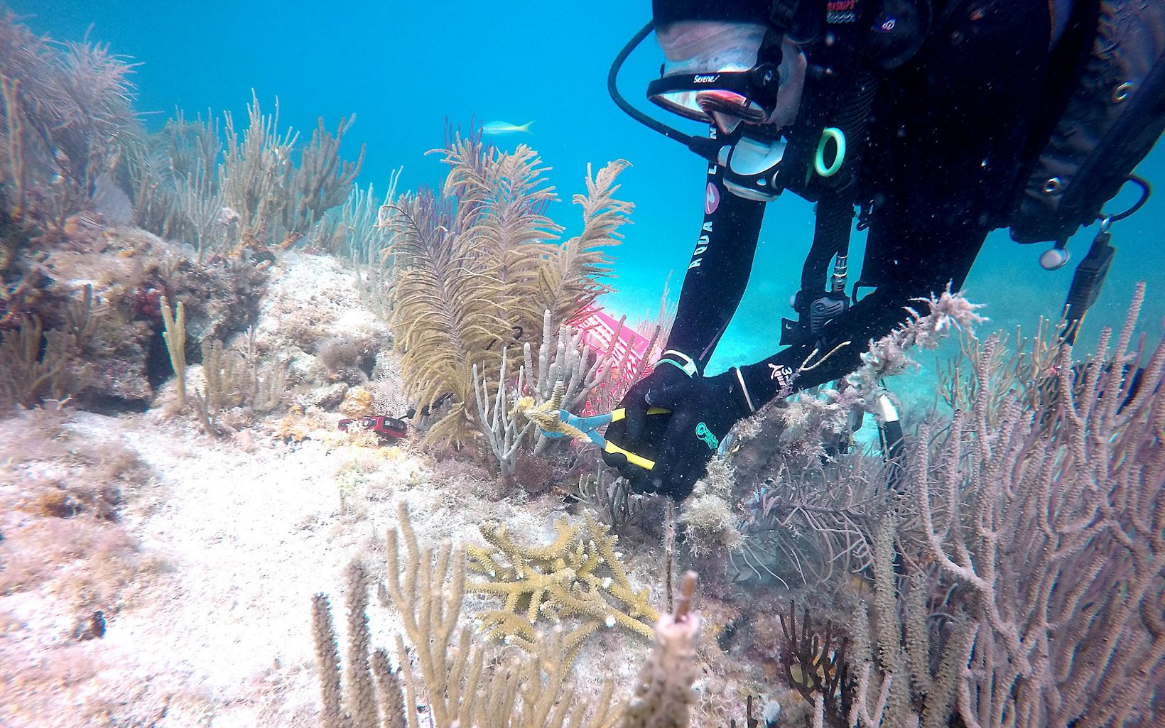 Coral planting in Dry Tortugas National Park, Florida
