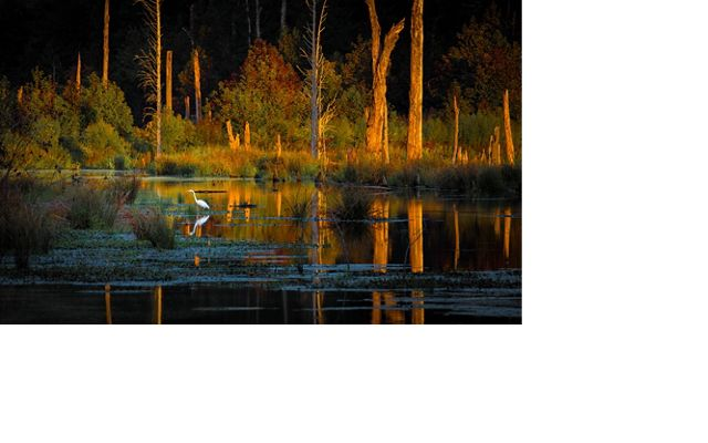 A white egret is reflected in the calm water of a tree lined wetland illuminated by the setting sun.