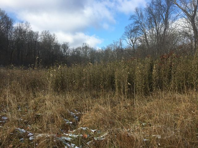 A cane break in a natural area adjacent to Shawnee National Forest.