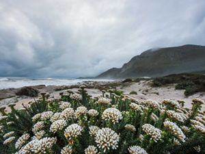 fynbos flowers on beach