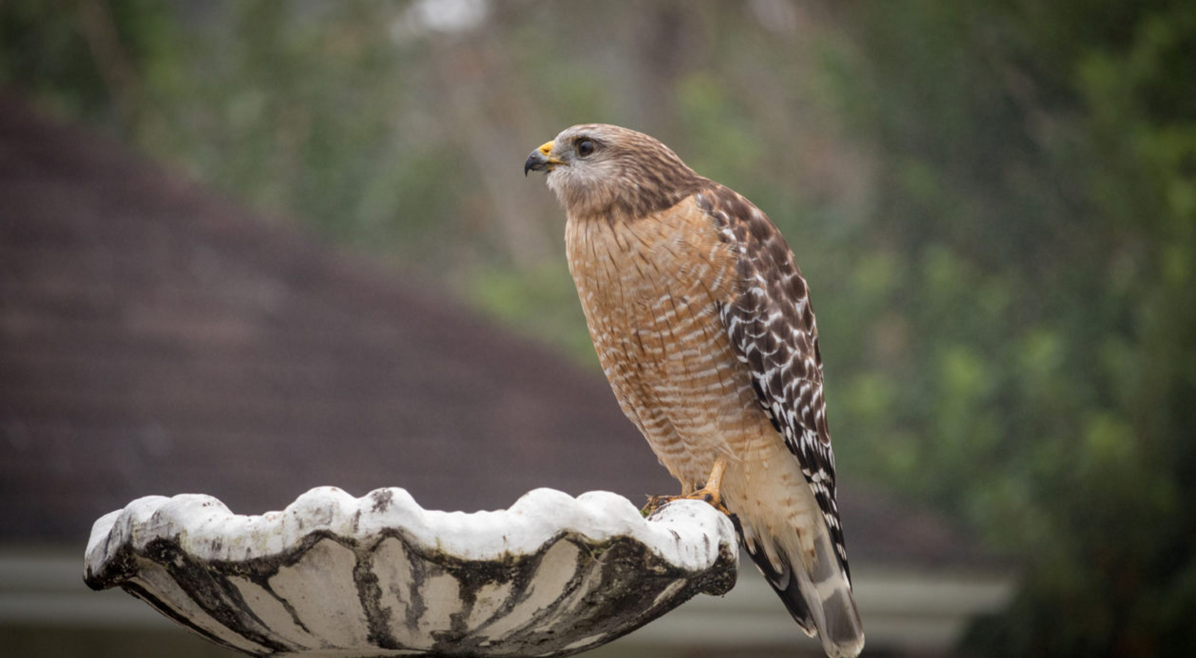 Red-shouldered hawk in the suburbs