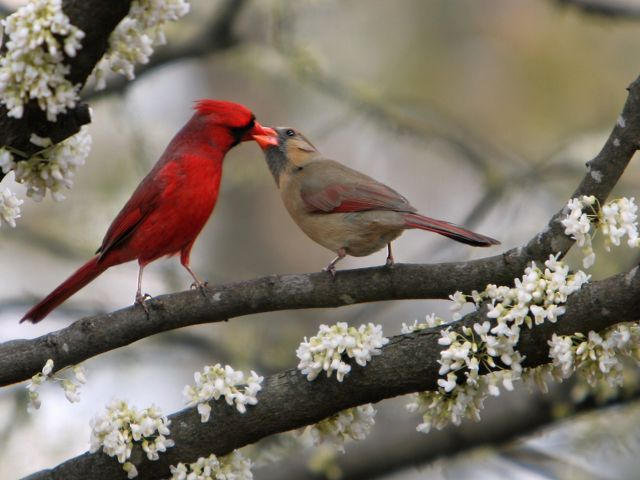 A male and female cardinal with their beaks together to exchange food.
