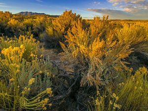 Sagebrush in Eastern Nevada