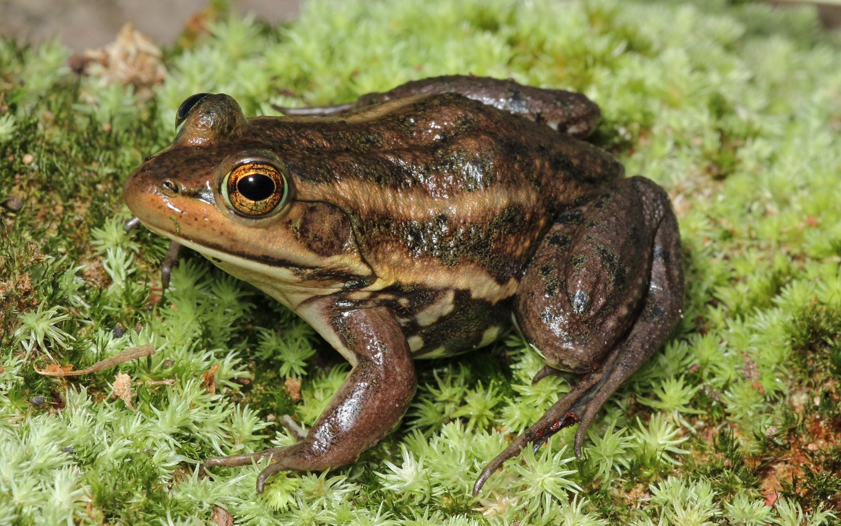 A mottled brown frog sitting on moss.