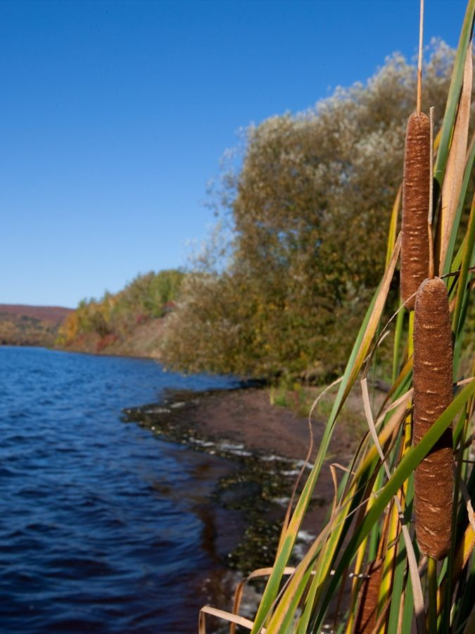 Tall plants with brown spikes next to dark blue lake.