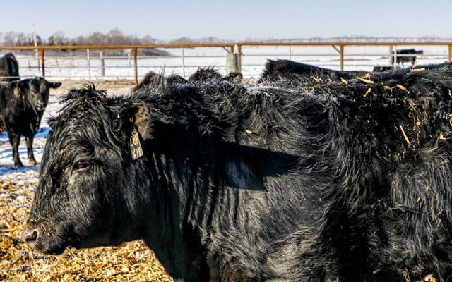 Closeup of a beef cow with black hair in a wintry scene.