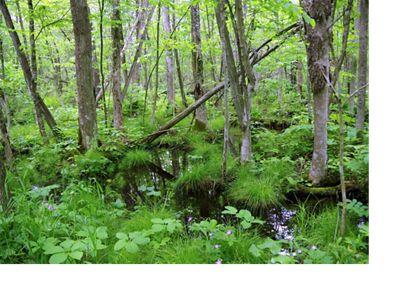 A verdant floodplain wetland in Wisconsin.