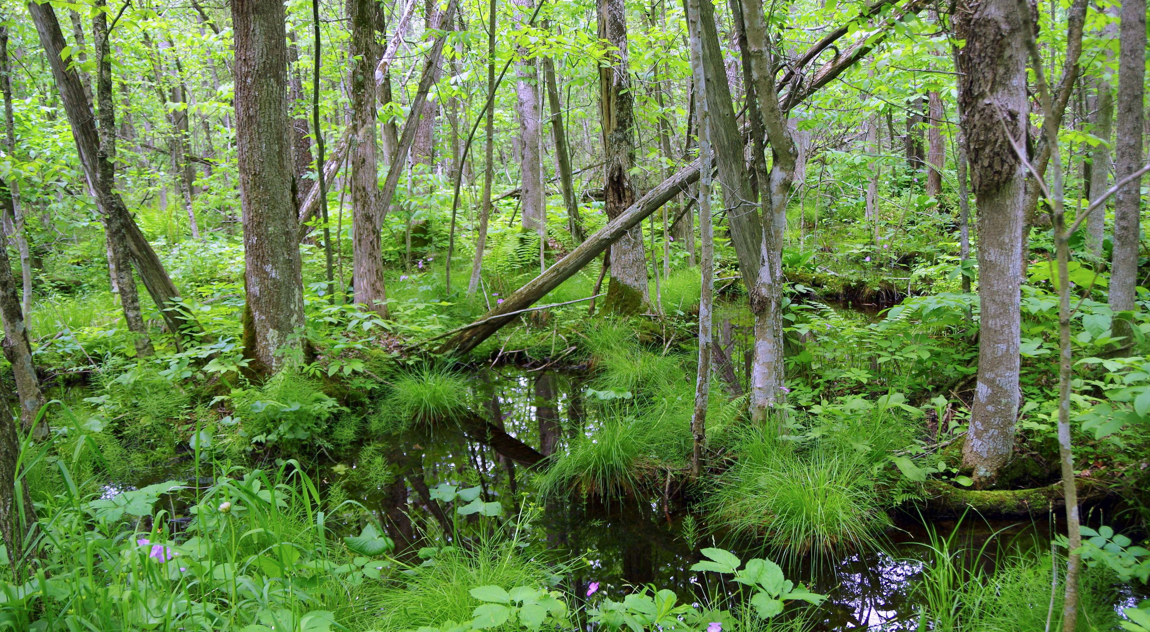Forested wetland with trees, standing water, flowers