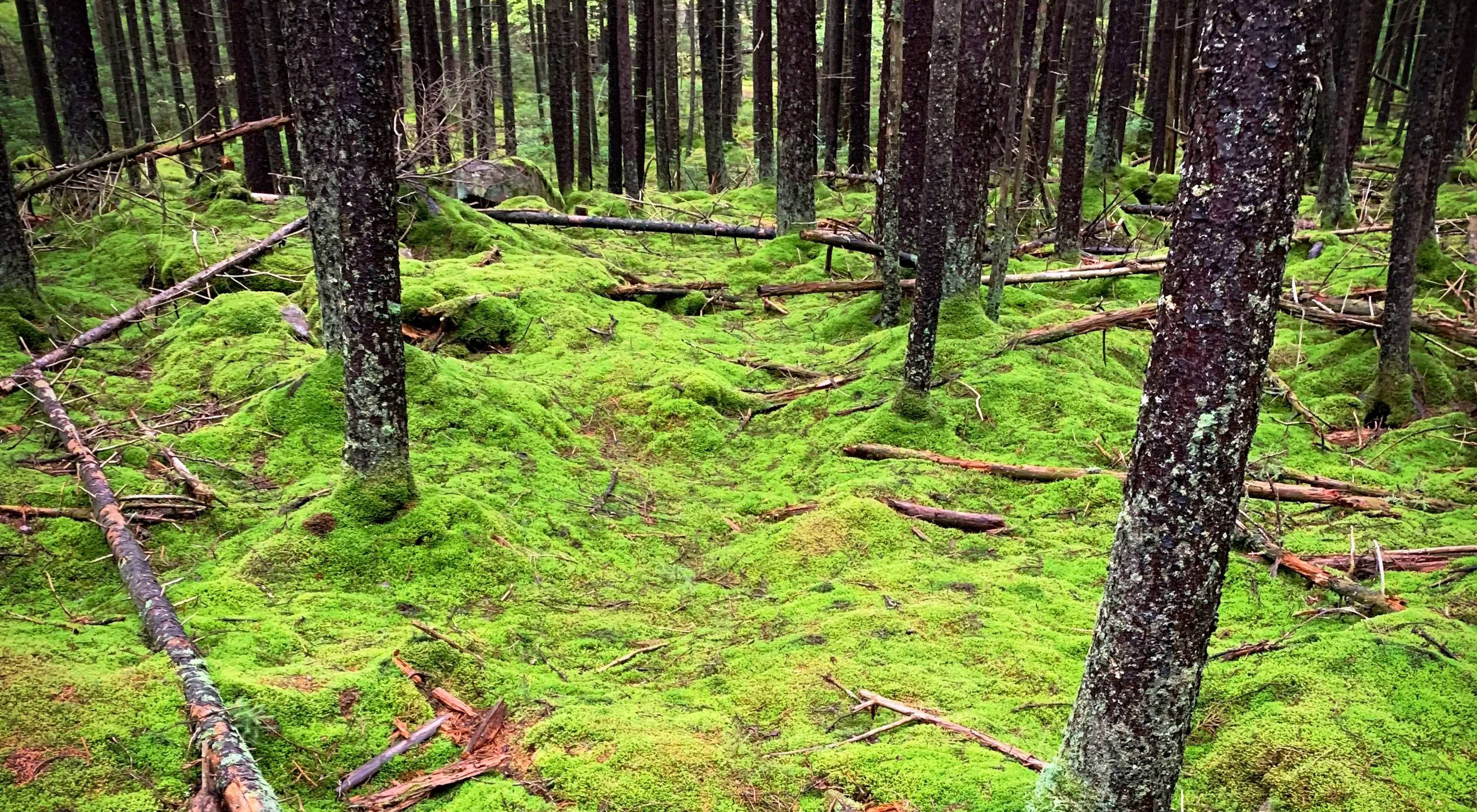 Thick, green moss covers a forest floor.