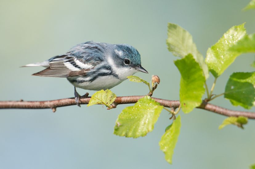 Photo of a Cerulean warbler, with bluish feathers on head and stripes on body.