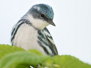 A blue and white cerulean warbler perches on a branch.
