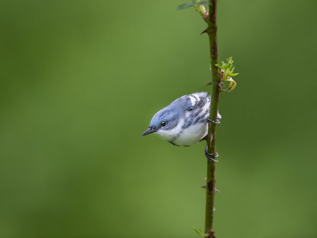Blue and white male cerulean warbler is perched on a vertical twig looking off to the left of the photo