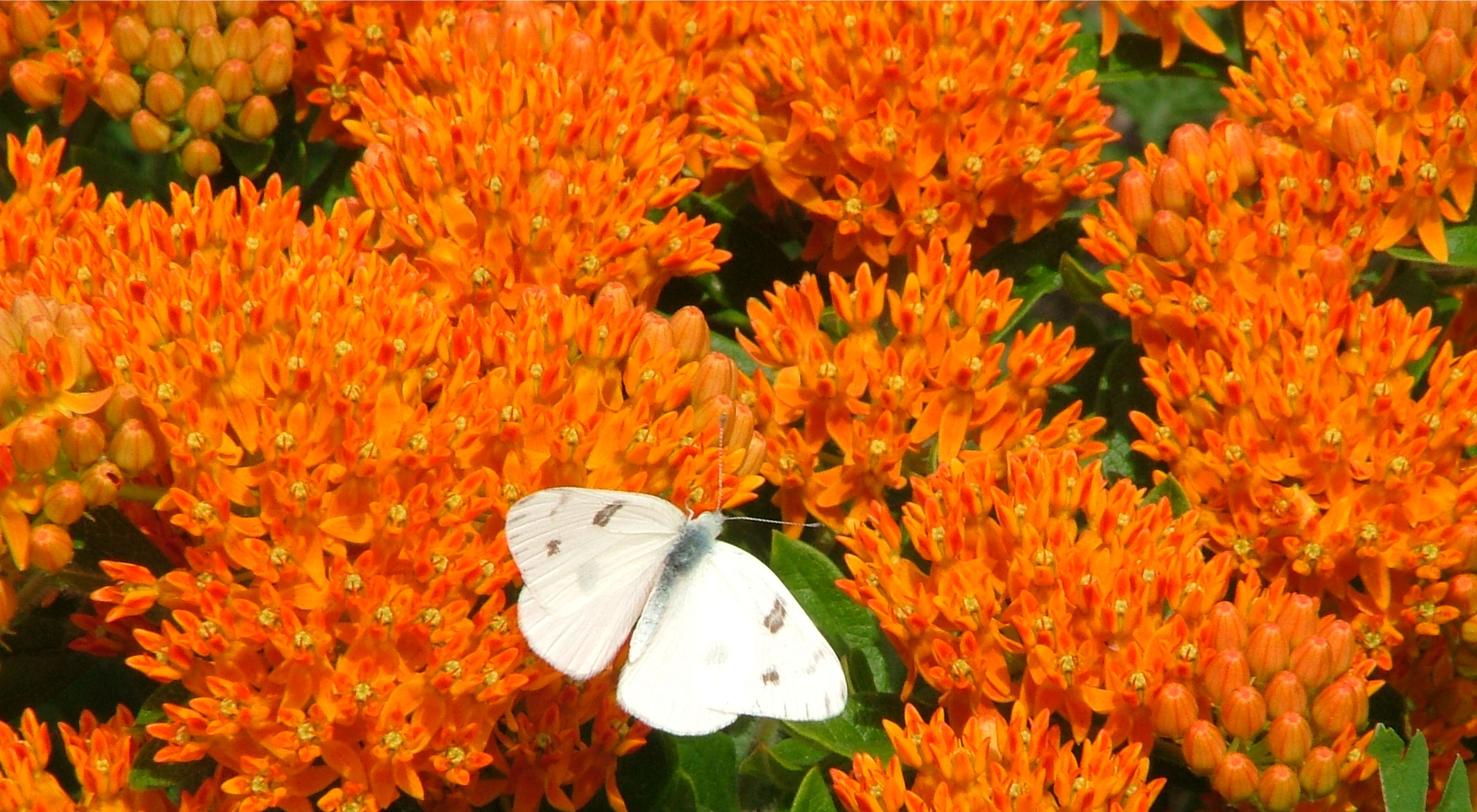 White-checkered butterfly on orange flowers