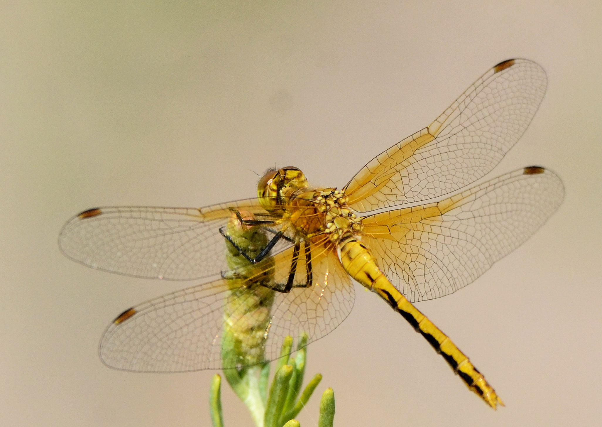 A yellow cherry-faced meadowhawk is perched on a plant.