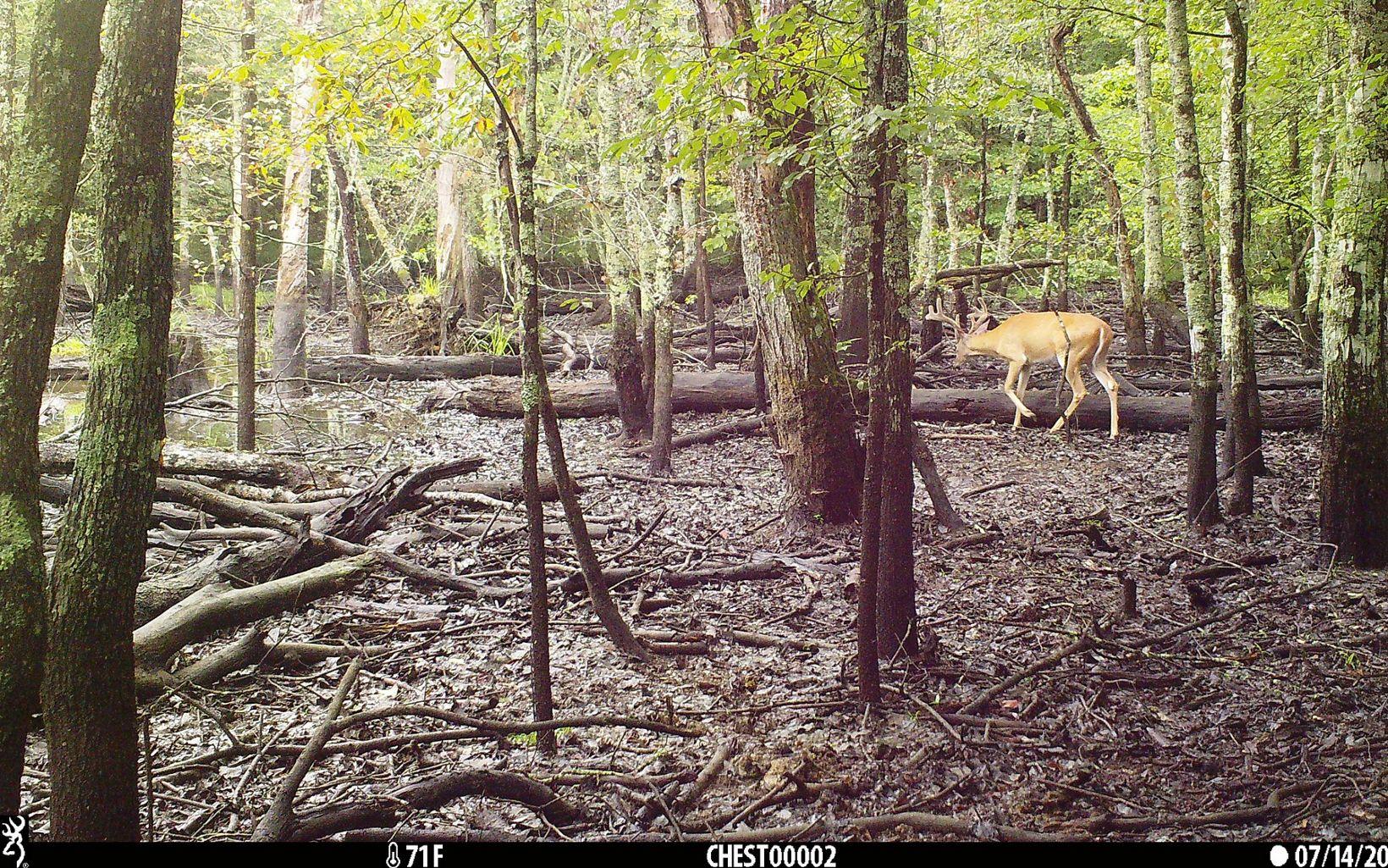 A deer walks through a wetland.