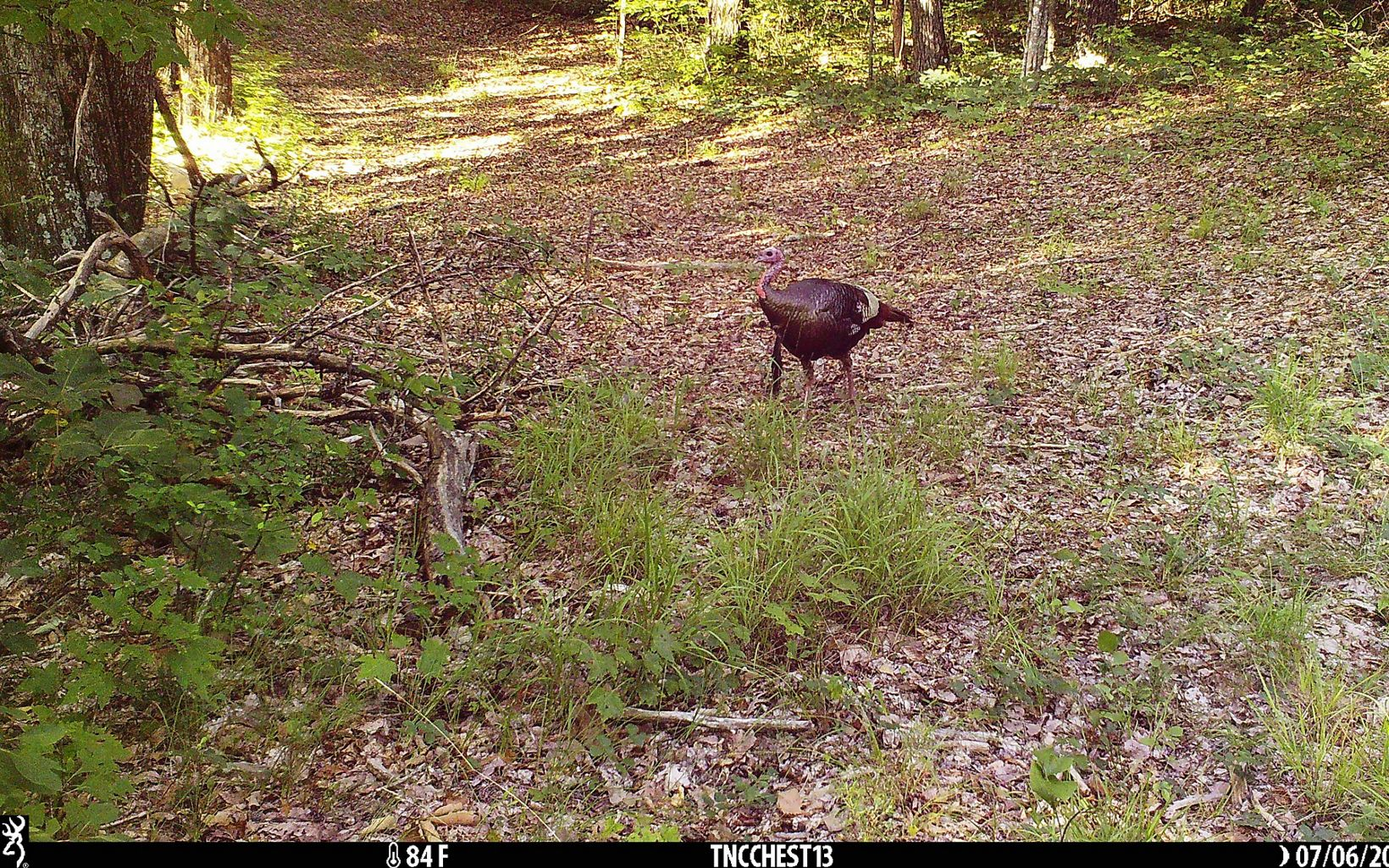 A turkey wanders through the woods.