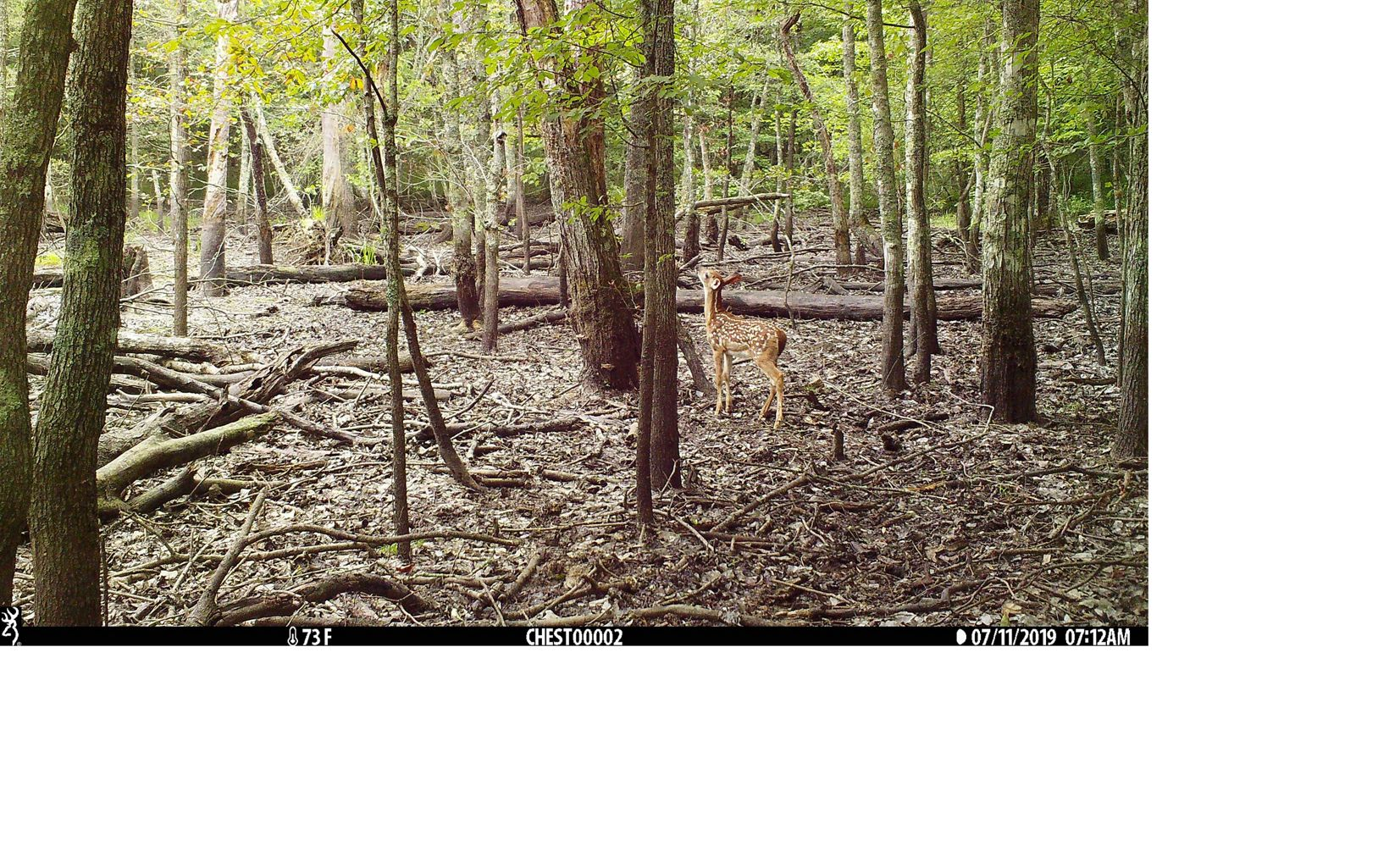 A fawn explores a wooded area.