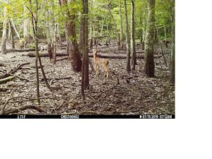 A fawn explores a Tennessee forest.