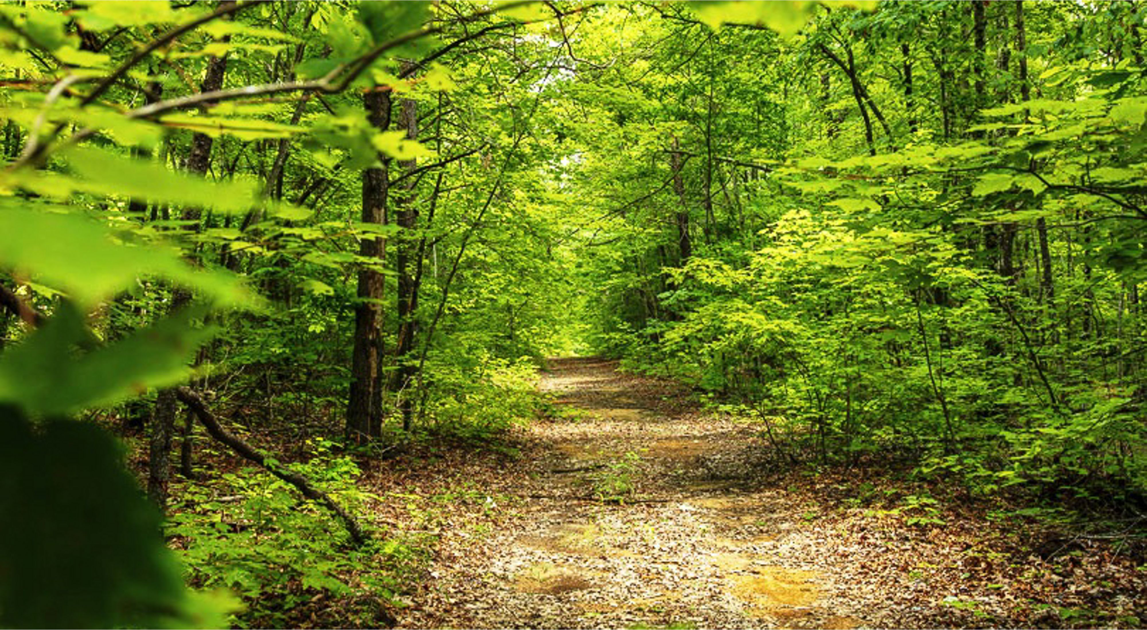 Green, leafy trees line a brown path through a forest.
