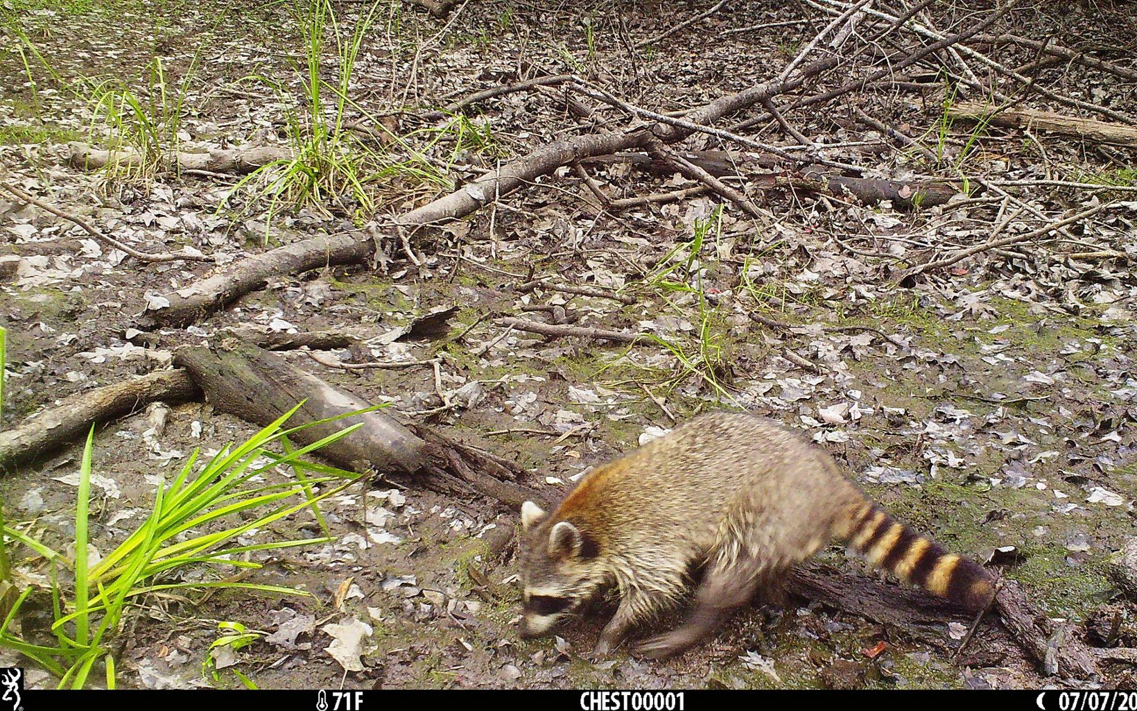A raccoon walks along a forest floor.