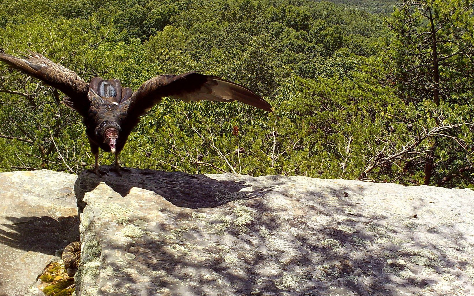 A large bird lands on a rock.
