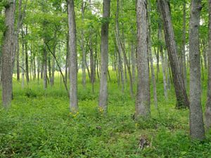Open woodland forest