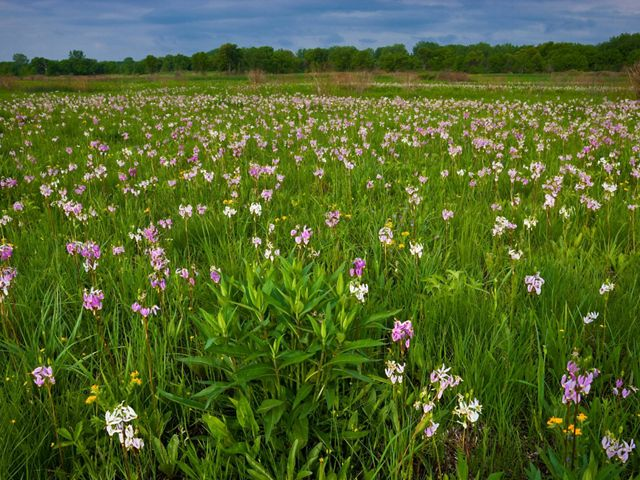 Landscape view of purple, pink and white shooting stars and yellow puccoon blooming with forest in the background at Chiwaukee Prairie State Natural Area.