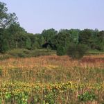 Shooting stars in bloom at Chiwaukee Prairie, Wisconsin.