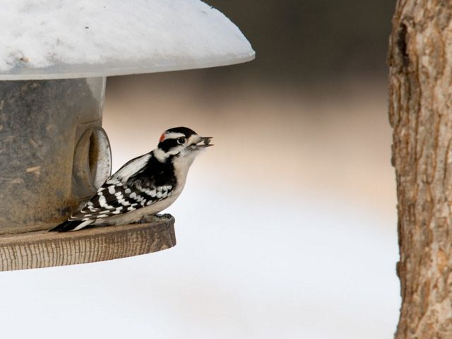A downy woodpecker (Picoides pubescens, the smallest woodpecker in North America) on a feeder in early winter at Weiss Acres, south of Papillion, Nebraska.