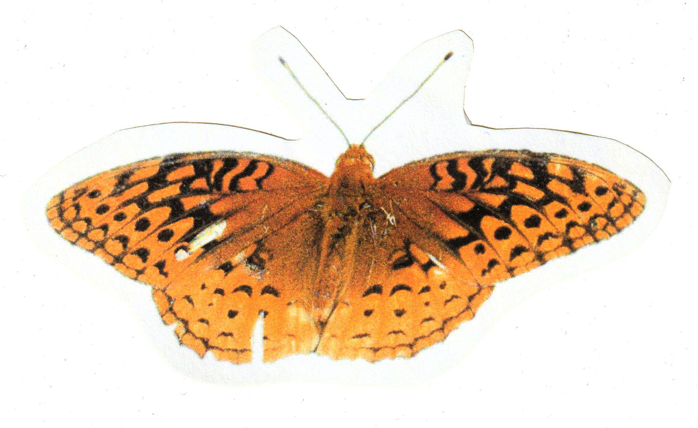 Comstock Fritillary Butterfly