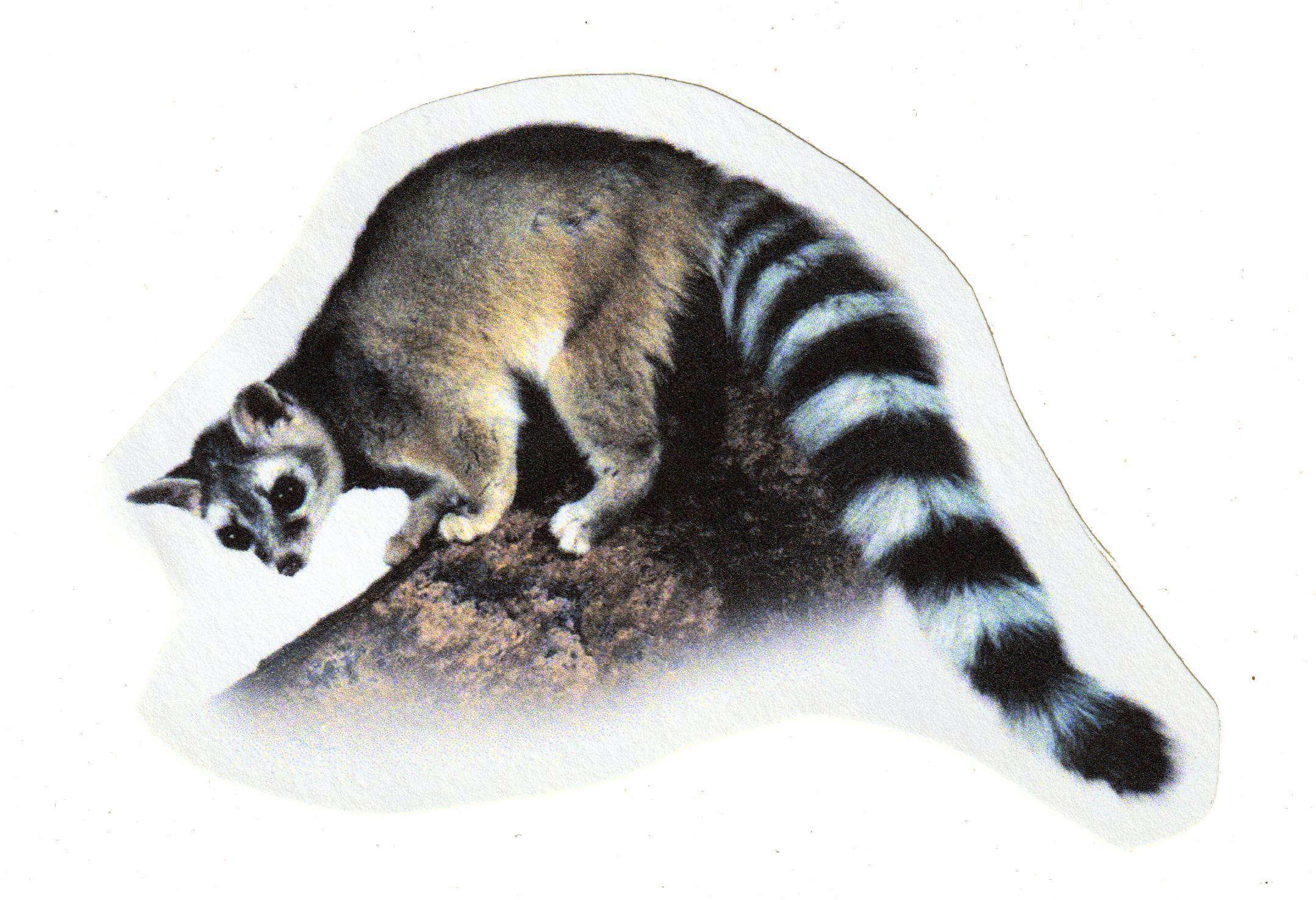 The ringtail (or miner's cat) is not actually a cat