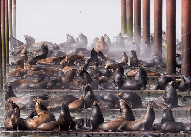 Docks in Astoria taken over by California Sea Lions.