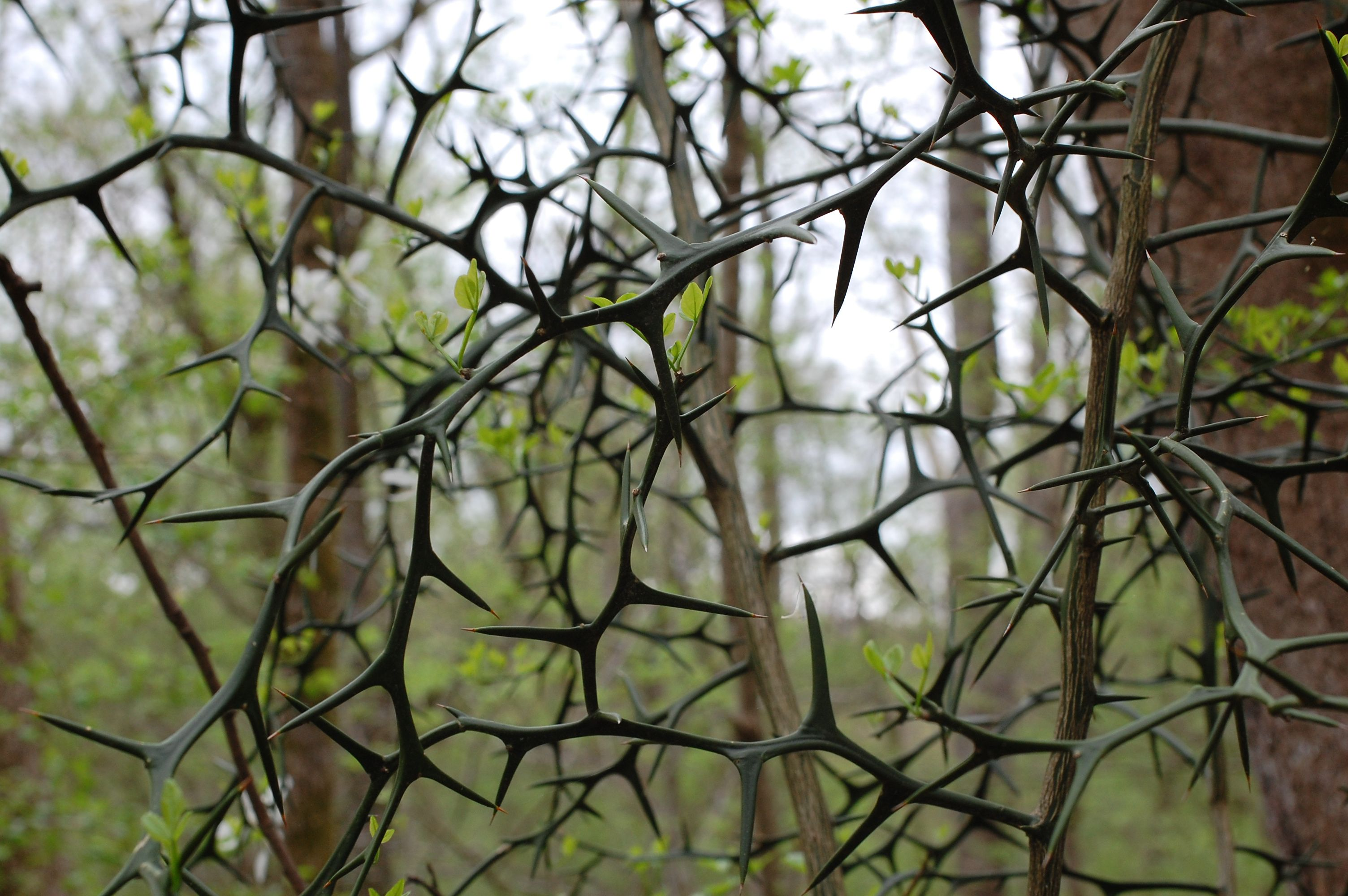 A thicket of black vines with long, curved thorns creates a barrier in a forest.