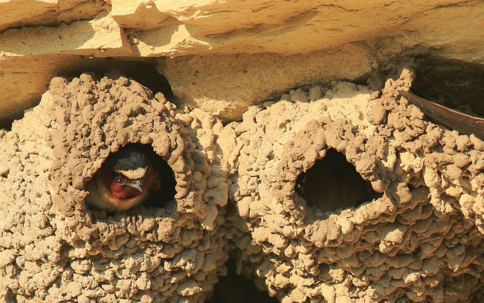 These mud nests are a common sight near the tops of rock formations in western Kansas.