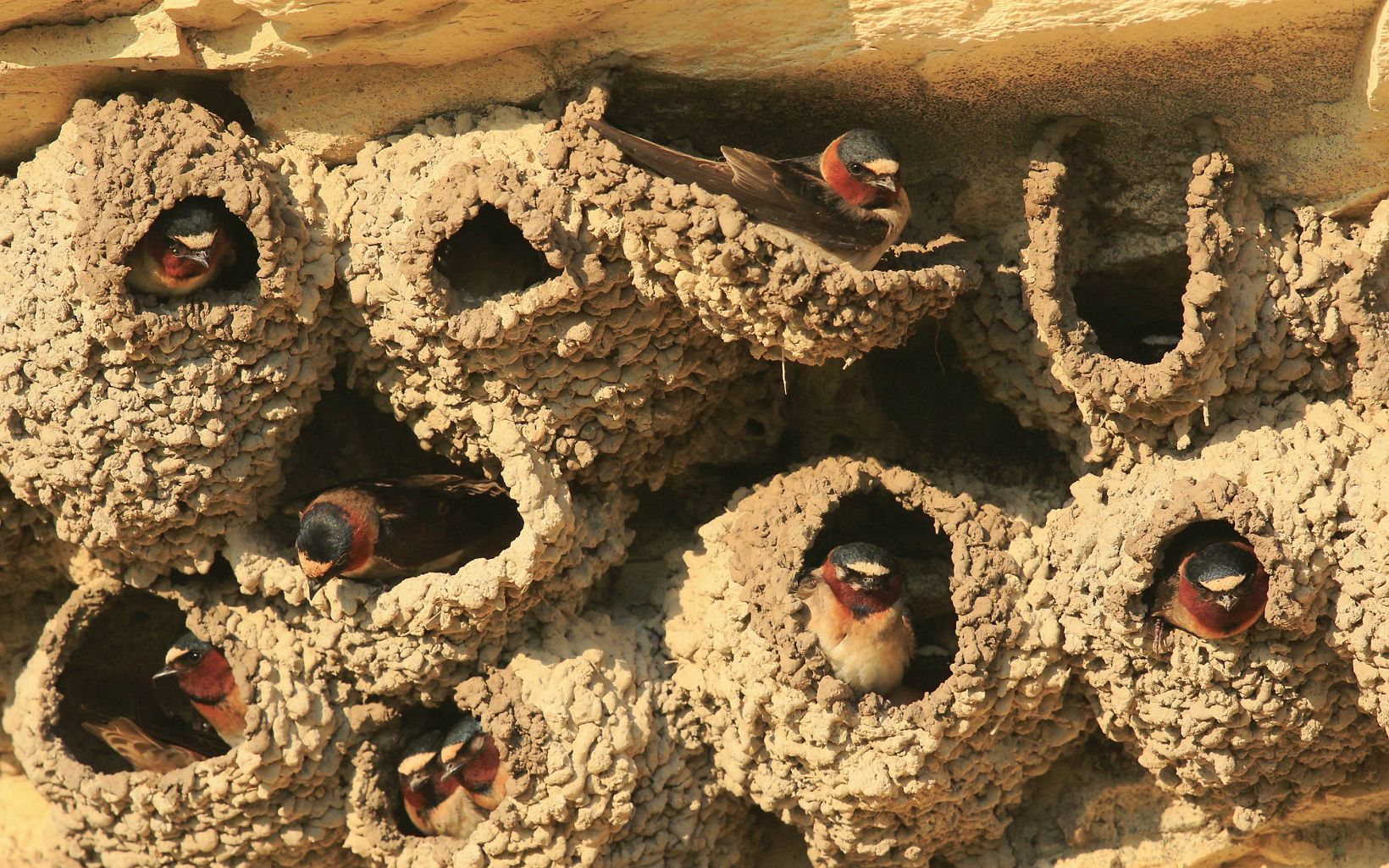 A flock of cliff swallows sit in round nests made of dried mud, which hang near the tops of rock formations in western Kansas.