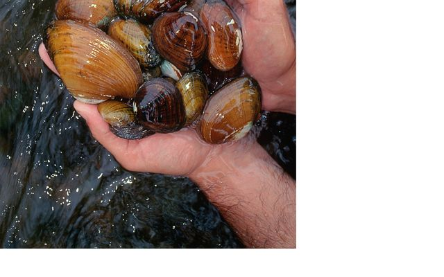 A man holds a handful of freshwater mussels in the clear, running water of the Clinch River.