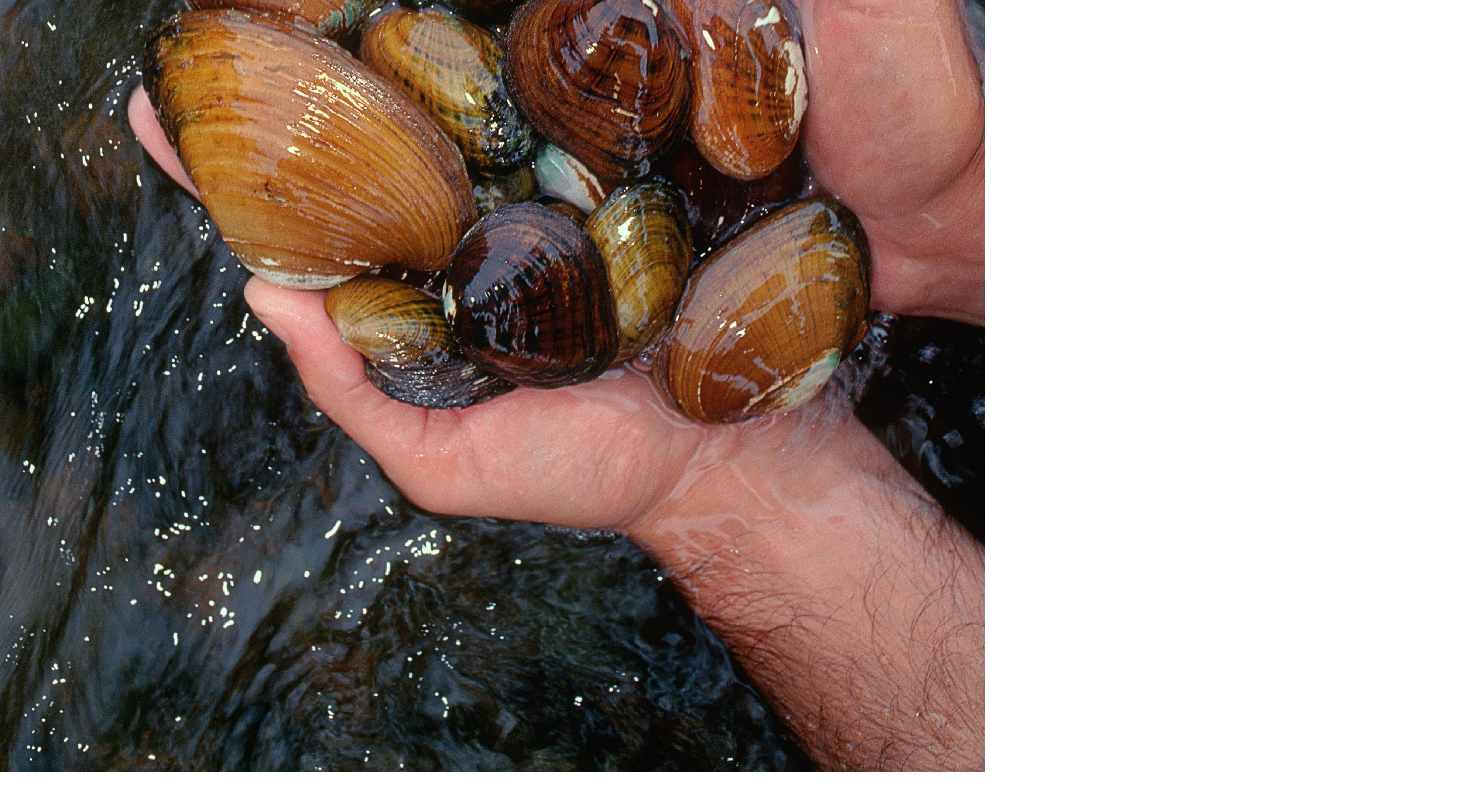 Hands holding freshwater mussels